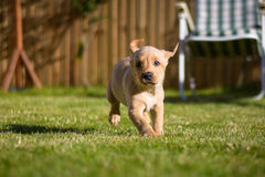 Labrador puppy running around garden. Cute Labrador puppy dog running and playing in a sunny garden royalty free stock images