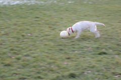 Labrador Puppy running ball on green grass Royalty Free Stock Image