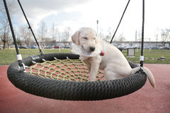 Labrador Puppy Sara with plastic bottle in her mouth on net swing Royalty Free Stock Photo