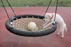 Labrador Puppy Sara trying to catch the ball in swing Royalty Free Stock Photo