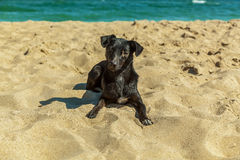 Labrador puppy. Stock Image
