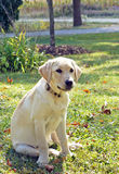 Labrador puppy sits in the grass Stock Photo