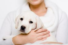Labrador puppy sits on the hands of woman Stock Image