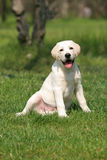 Labrador puppy sitting on the grass Stock Photography