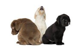 Labrador Puppy sitting, Labrador Retriever Puppy sitting stock photos