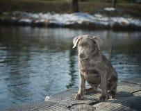 Labrador puppy. Sitting on water Stock Photo