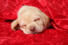 Labrador puppy sleep. Under red blanket Royalty Free Stock Images