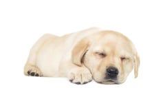 Free Labrador Puppy Sleeping Stock Photography - 68088092