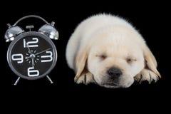 Labrador puppy sleeping on black with alarm clock Royalty Free Stock Image