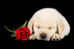 Labrador puppy sleeping on black with red rose Royalty Free Stock Photo