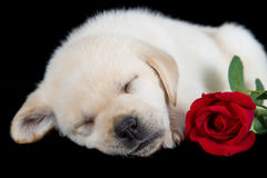 Labrador puppy sleeping on black with red rose Stock Images