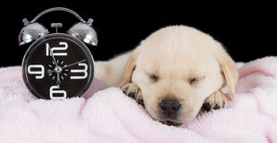 Labrador puppy sleeping on blanket with alarm clock Stock Photos