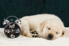 Labrador puppy sleeping on blanket with alarm clock Stock Images
