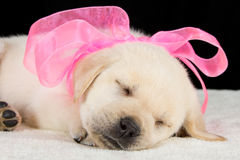 Labrador puppy sleeping on blanket with pink ribbon Royalty Free Stock Photos