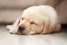 Labrador Puppy Sleeping Royalty Free Stock Photos