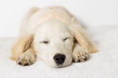 Labrador puppy sleeping Royalty Free Stock Photography