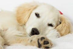 Labrador puppy sleeping Royalty Free Stock Photo
