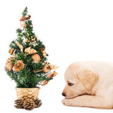 Labrador puppy with a small Christmas tree. Labrador retriever puppy laying by a small Christmas tree, isolated on white Royalty Free Stock Images