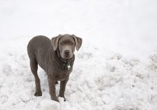 Labrador Puppy. In the Snow Royalty Free Stock Image