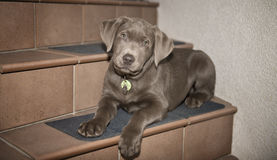 Labrador puppy. On the stairs stock images