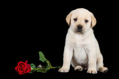 Labrador puppy standing on black with red rose Stock Photos