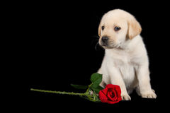 Labrador puppy standing on black with red rose Royalty Free Stock Images