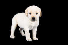 Labrador puppy standing and look sad in studio Royalty Free Stock Image