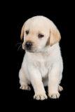 Labrador puppy standing and look sad in studio Stock Photos