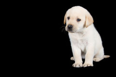 Labrador puppy standing and look sad in studio Stock Image