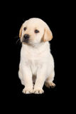Labrador puppy standing and look sad in studio Stock Images