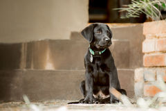 Labrador Puppy by Steps Stock Images