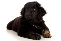 Labrador puppy is tired and lies Royalty Free Stock Images