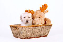 Labrador puppy with toy Royalty Free Stock Photos