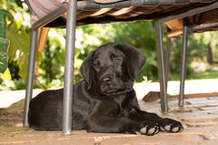 Labrador Puppy Under Chair. A labrador puppy lies and relax under a chair on the porch Royalty Free Stock Images