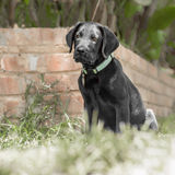 Labrador Puppy by the Wall Royalty Free Stock Photography
