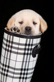 Labrador puppy in water shoe against black background Royalty Free Stock Photo