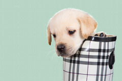 Labrador puppy in water shoe against green background Stock Photography