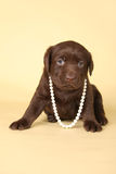 Labrador puppy wearing pearls. Royalty Free Stock Photo