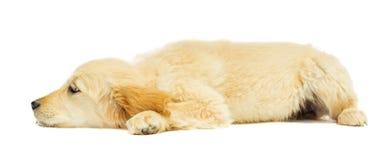Labrador puppy Stock Photos