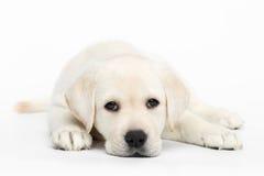 Labrador puppy on white background stock photo
