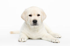 Labrador puppy on white background stock photography