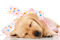 Labrador puppy wrapped in a pink ribbon Royalty Free Stock Image