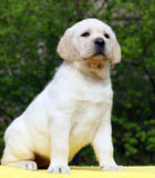 Labrador puppy on yellow background Royalty Free Stock Photography