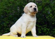 Labrador puppy on yellow background Royalty Free Stock Photos