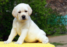 Labrador puppy on the yellow background Royalty Free Stock Photos