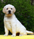 Labrador puppy on yellow background Stock Photography