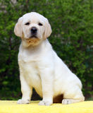 Labrador puppy on yellow background Stock Images