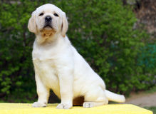 Labrador puppy on yellow background Royalty Free Stock Image