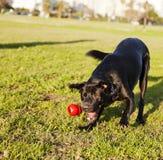 Labrador que busca o brinquedo da mastigação do cão no parque Fotos de Stock