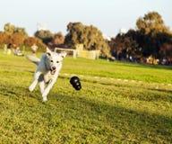 Labrador que busca o brinquedo da mastigação no parque fotos de stock royalty free